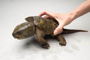 Loài rùa đầu to biết trèo cây, lạ nhất trong sách đỏ Việt Nam