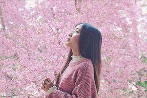 Để ngắm hoa mai anh đào, nên đi Đà Lạt vào tháng 12 hay tháng 1?