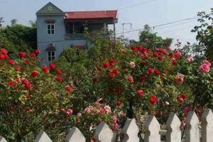 Vườn hoa hồng vạn gốc đẹp độc hiếm của 'triệu phú' 8X ở Thái Nguyên