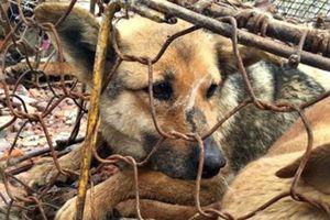 Đôi mắt ám ảnh của những chú chó trước khi bị giết thịt