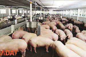 Không để dịch tả lợn châu Phi xâm nhập