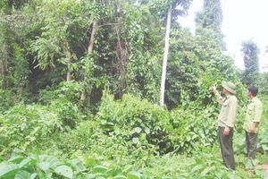 Ban Quản lý rừng phòng hộ Sông Chàng: Tăng cường các biện pháp bảo vệ rừng tận gốc