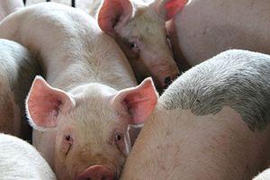 Hải Phòng tăng cường tuyên truyền diễn biến bệnh dịch tả lợn Châu Phi