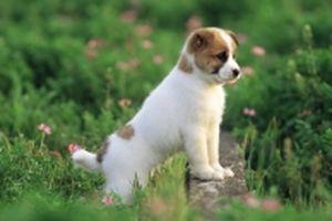 'Người Hà Nội không ăn thịt chó' và chuyện 'thú thịt, thú cưng'