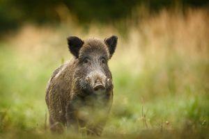 Dịch tả lợn châu Phi xuất hiện tại Bỉ