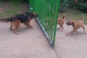 Trận chiến kỳ lạ của 3 con chó lộ tội ác kinh hoàng sau cái chết của cô chủ