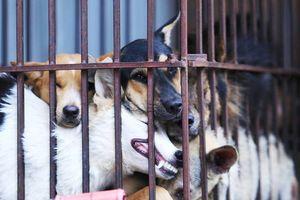 Ăn thịt chó là văn hóa?