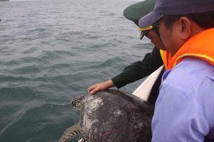 Phú Quốc: Thả 12 cá thể Vích bị nuôi nhốt trái phép về tự nhiên