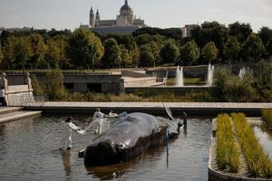 Bất ngờ trước hiện tượng hàng loạt cá voi mắc cạn ở thủ đô các nước