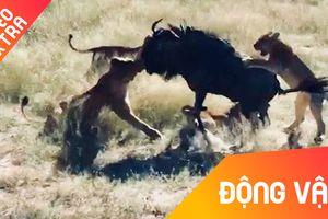 Linh dương đầu bò một mình đánh bại 8 sư tử