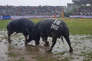 Chùm ảnh: Hàng nghìn người chen chân, đội mưa xem chọi trâu Đồ Sơn