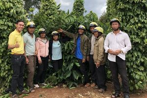 Đạm xanh Cà Mau bón hiệu quả trên cây cà phê tại Đắk Lắk