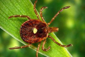 Bị loài bọ này cắn một chút, lập tức bạn sẽ biến thành người ăn chay