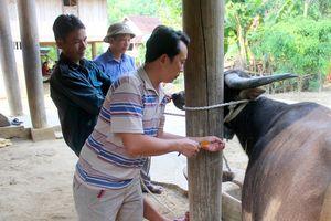 Lo dịch bệnh gia súc bùng phát, người dân lên núi lùa trâu bò về tiêm phòng