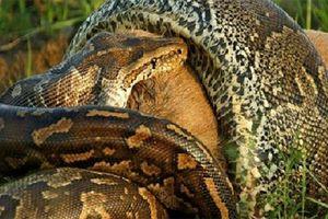 Clip pha săn mồi và nuốt trọn linh dương của trăn đá châu Phi