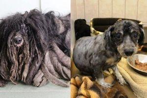 Cún cưng rũ bỏ bộ lông quái vật sau 2 năm bị bỏ bê