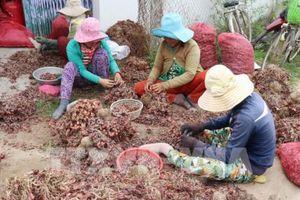 Giá hành tím Ninh Thuận giảm sâu, người dân gặp khó