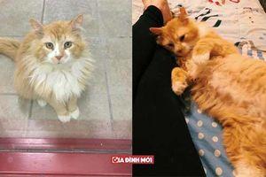 Bị đem cho, chú mèo vượt 12 km tìm về với chủ cũ để rồi bị ruồng bỏ lần 2 còn đau lòng hơn