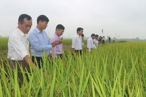 Hà Nam: Hiệu quả giống lúa mới NA6