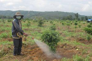 Đắk Hà: Diệt bọ cánh cứng phá hoại cà phê