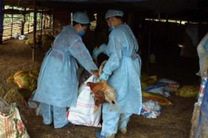 Xuất hiện ổ dịch cúm A/H5N6 trên gia cầm tại Cao Bằng
