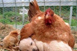 Ảnh động vật siêu yêu: Khi gà mái mẹ yêu con khác loài