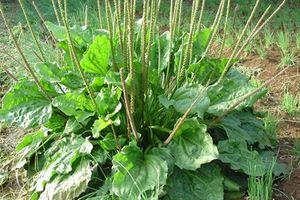 Cây cỏ dại quyền lực nhất thế giới mọc đầy ở Việt Nam chữa bách bệnh