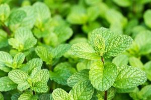 5 loại thảo mộc tiêu đờm, làm sạch phổi tự nhiên
