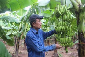 'Thủ phủ' chuối Vân Nam khẳng định là cây trồng chủ lực