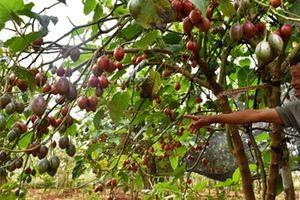 Vườn cà chua thân gỗ độc lạ sai trĩu quả ở Lâm Đồng