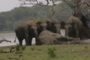 Rơi nước mắt trước cảnh bầy voi 'tiễn voi chúa về nơi cực lạc'