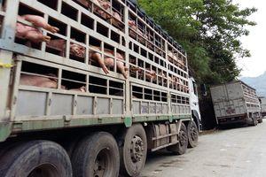 Nghiêm cấm mọi hình thức vận chuyển lợn không rõ nguồn gốc