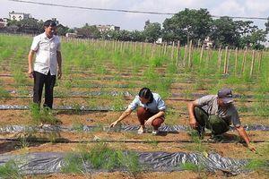 Xã Nga An trồng thí điểm 1,6 ha cây măng tây xanh theo hình thức liên kết sản xuất