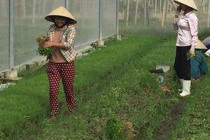 500 ha trồng cây rau màu xuất khẩu của huyện Thọ Xuân cho hiệu quả kinh tế cao