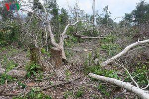 Rừng Tà Cú (Bình Thuận) lại bị triệt hạ chiếm đất trồng thanh long