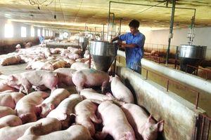Nguy cơ bệnh dịch tả lợn châu Phi: Tránh tăng đàn ồ ạt