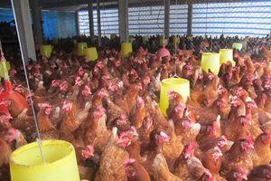 Hội thảo Chăn nuôi gia cầm bền vững: Giống gia cầm Việt Nam rất đa dạng