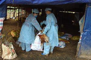 Phát hiện ổ dịch cúm A H5N6 phải tiêu hủy gần 7000 con gà ở Cao Bằng