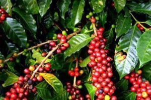 Giá nông sản hôm nay 21/9: Giá cà phê bật tăng mạnh mẽ, giá tiêu tăng nhẹ