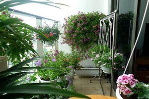 6 loại hoa trồng ở ban công vừa đẹp rực rỡ vừa hút tài lộc