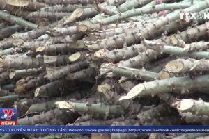 Hàng ngàn ha Sắn bị bệnh khảm lá tại Đắk Lắk