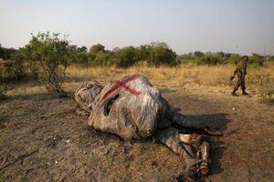 Phát hiện gần 90 xác voi ở Botswana, cảnh báo nạn săn trộm gia tăng