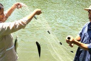 Độc đáo: Con tôm 'ôm' cá đối trong 1 hồ, tiền nhiều gấp đôi