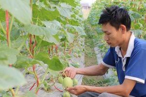 Sa Pa: 220 ha nông nghiệp CNC, mỗi ha hoa ly thu 3-3,5 tỷ/năm