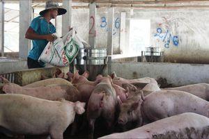 Giá heo tăng cao, người chăn nuôi tái đàn ồ ạt