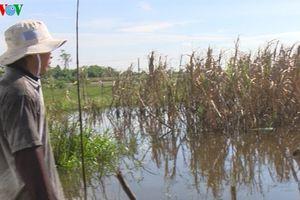 Hậu Giang: Mía ngập nước chết, người trồng mía trắng tay