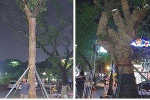 Hải Phòng: 3 cây Muồng Ngủ được trồng thay thế tại tượng bà Lê Chân