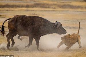 'Chiến' trâu rừng để dạy con, ba sư tử nhận kết đắng