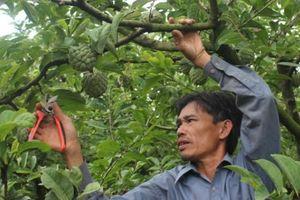 Gia Lai: Thu hàng trăm triệu/năm nhờ đưa na lên vùng đất cằn