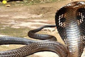 Dùng tay bắt rắn hổ mang chúa dài 3 m, người đàn ông bị cắn chết